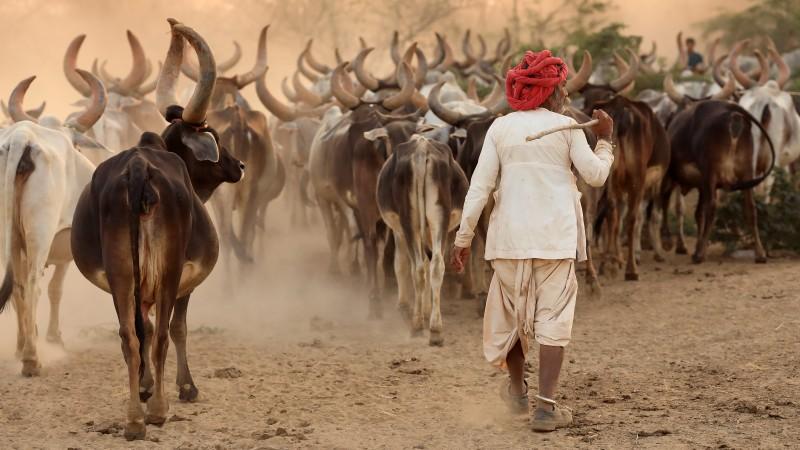 India, Rabari herder in Kutch
